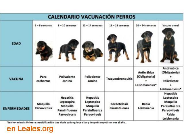 Calendario vacunación para perros - 1