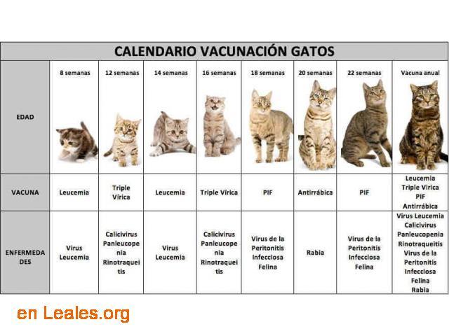Calendario vacunación para gatos - 1