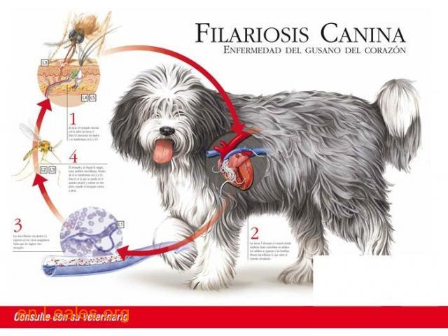 FILARIOSIS CANINA - 1