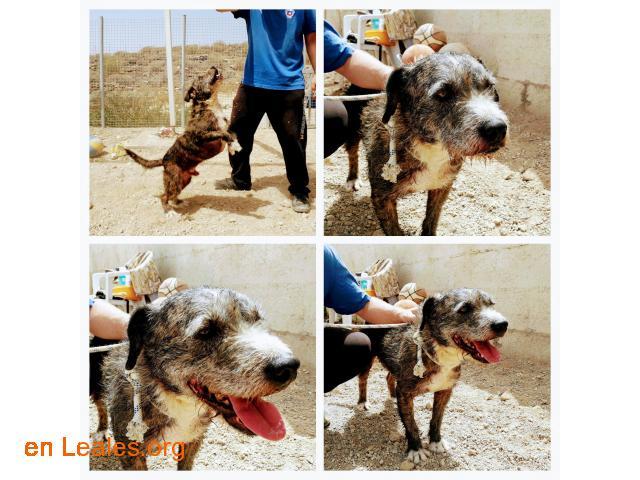 Sanchi (terrier, NO PPP) - para adoptar! - 1