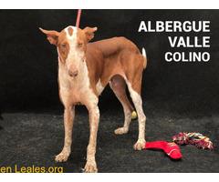 TEXAS ADOPTADA EN ALBERGUE VALLE COLINO - Imagen 1