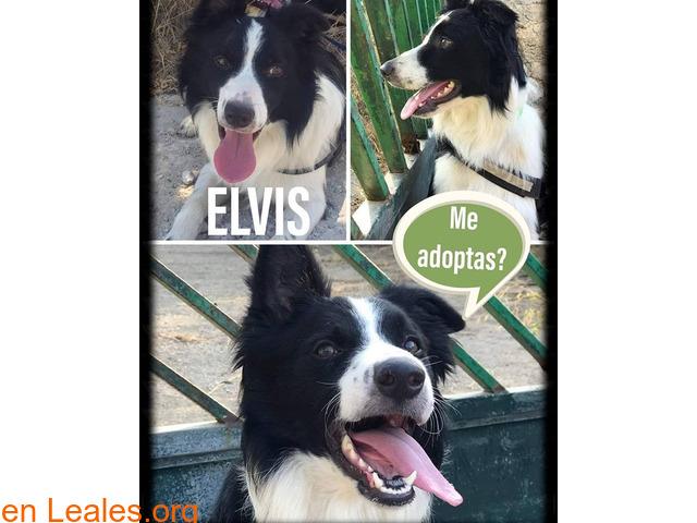 Elvis en adopción - 1