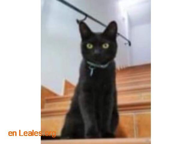 Gato Macho Perido - 3