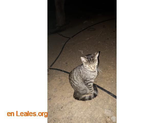 Adoptado Gato en Jinámar - 1