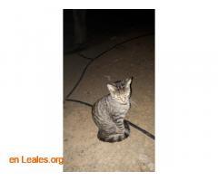 Adoptado Gato en Jinámar - Imagen 1