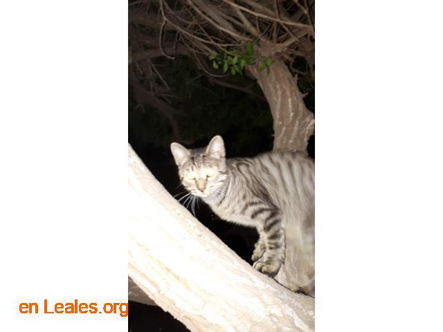 Adoptado Gato en Jinámar - 2