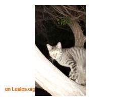 Adoptado Gato en Jinámar - Imagen 2