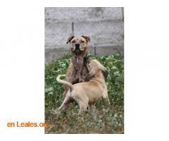 Perro desaparecido en Sardina de Galdar - Imagen 1