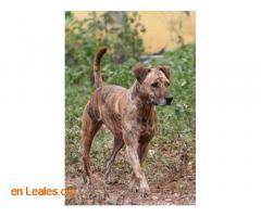 Perro desaparecido en Sardina de Galdar - Imagen 2