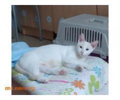 Canela con ojos azules (ya adoptada) - Imagen 2