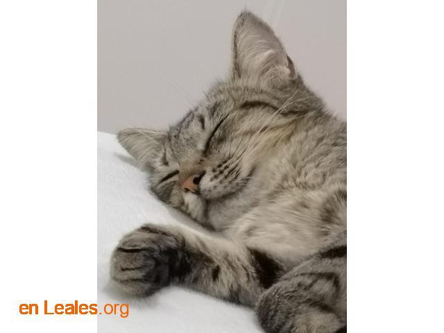 Castración de gata urgente - 1