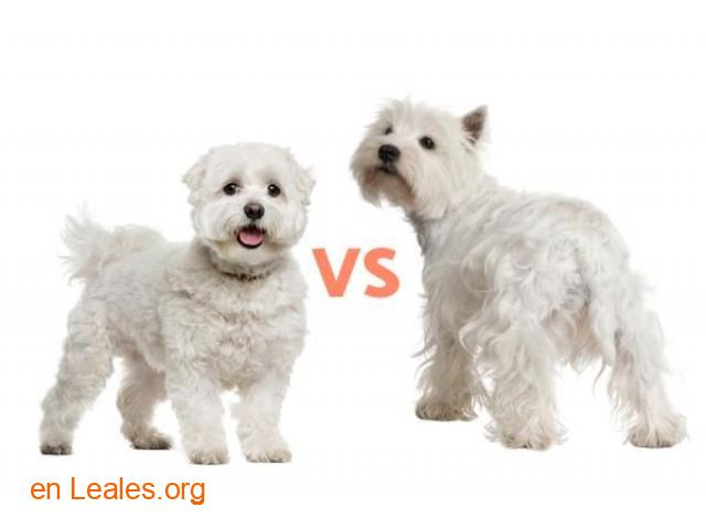 Avistado perro pequeño/mediano blanco - 1