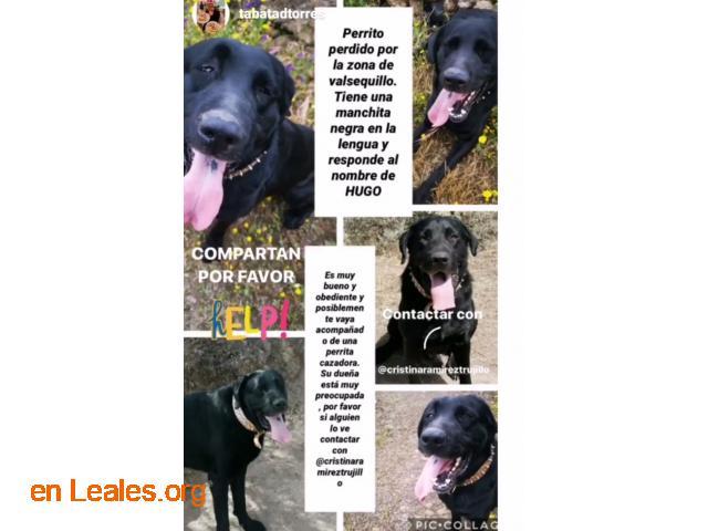 Labrador negro perdido valsequillo