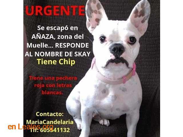 Perro perdido en Añaza Tenerife - 1