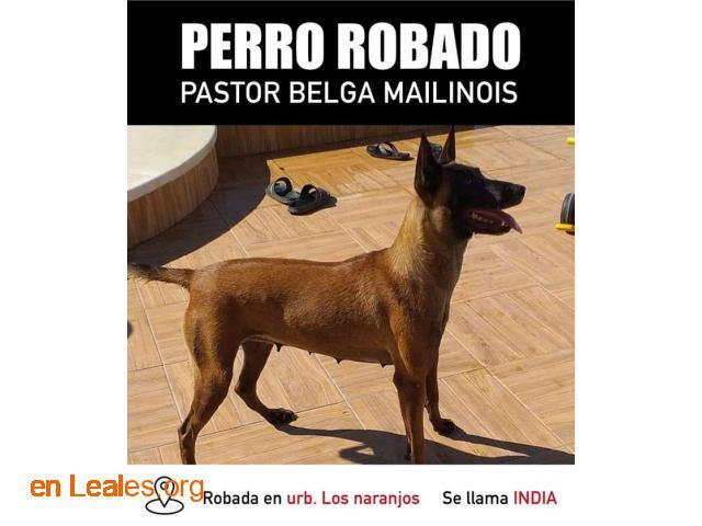 Pastor belga malinois Robada