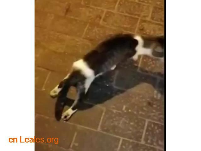 Transporte urgente gatito herido - 1
