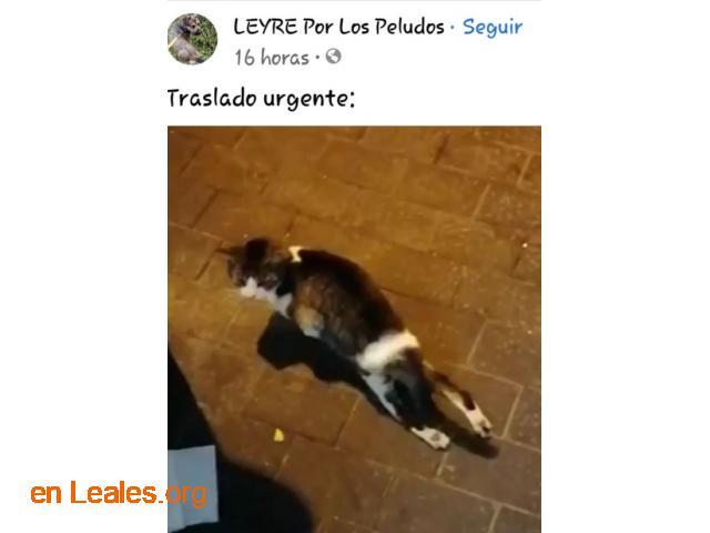 Transporte urgente gatito herido - 2
