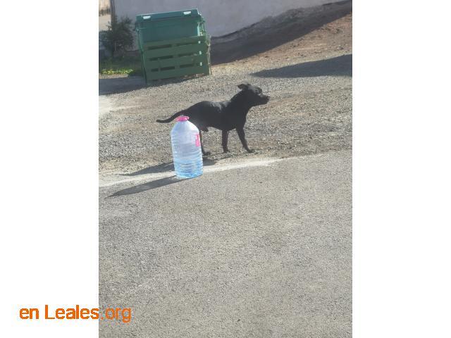 Perro negro Visto en Sardina