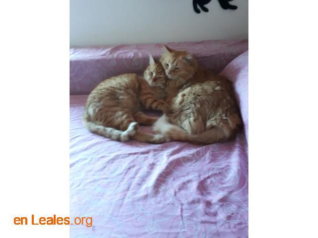 Adopto gata y gato. Pelo pelirrojo, vacu