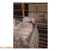 Hemos tenido una camada de conejos toy - Imagen 1