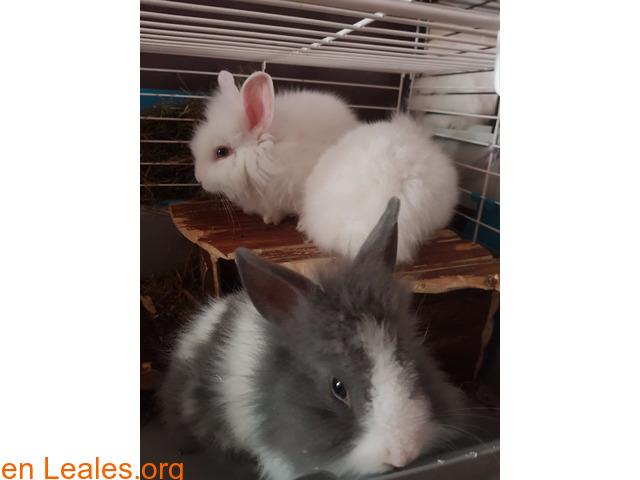 Hemos tenido una camada de conejos toy - 2