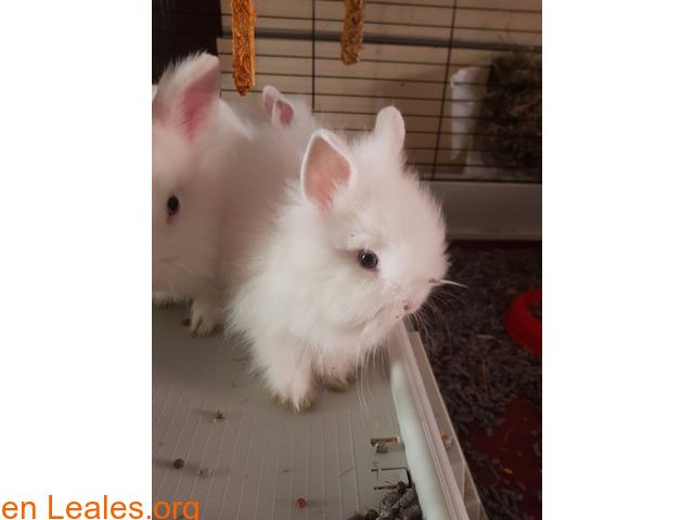 Hemos tenido una camada de conejos toy - 3