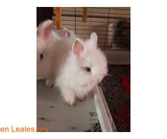 Hemos tenido una camada de conejos toy - Imagen 3