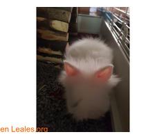 Hemos tenido una camada de conejos toy - Imagen 4