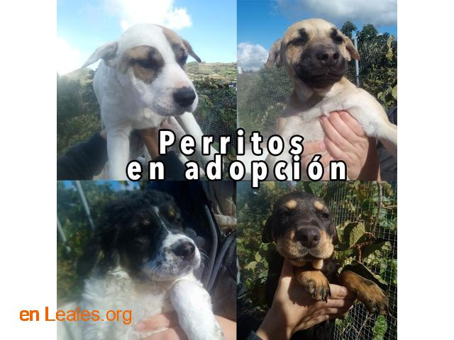 Perritos en Adopción - 1