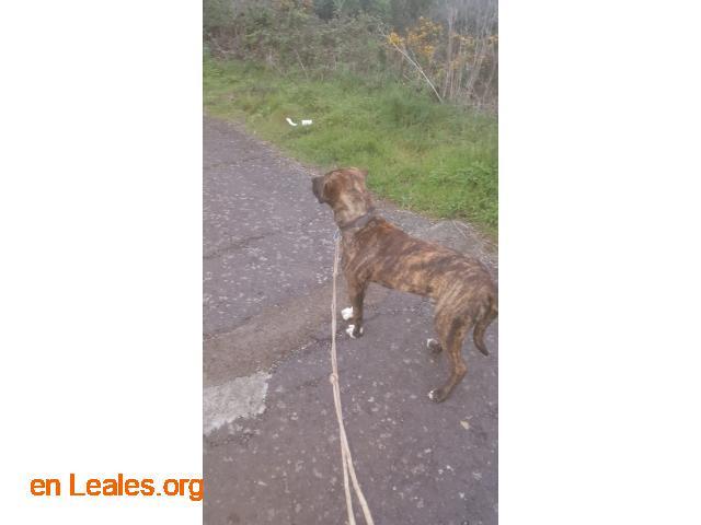 Cachorro presa mix busca casa - 2