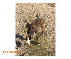 Cachorro presa mix busca casa - Imagen 3
