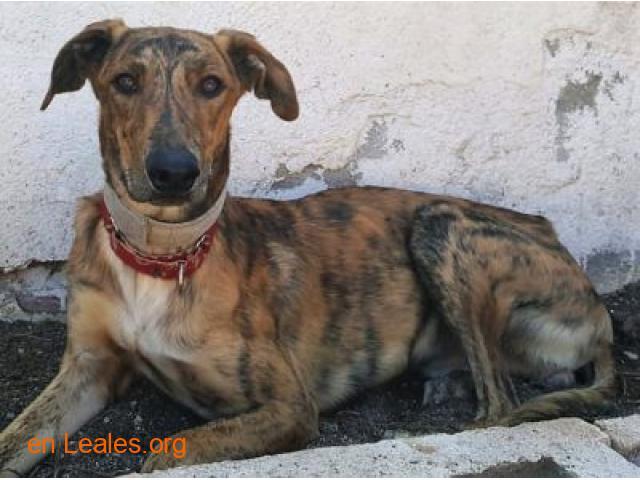 Porto, perro joven en adopción