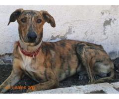 Porto, perro joven en adopción - Imagen 1
