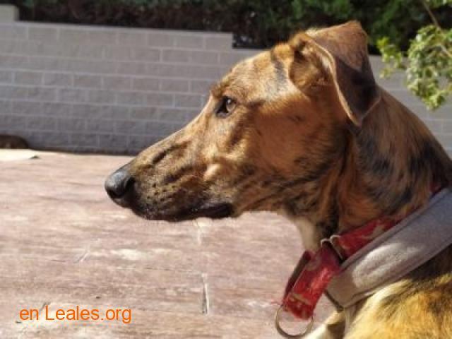 Porto, perro joven en adopción - 2
