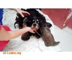 Perro atado en un patio y abandonado - Imagen 4
