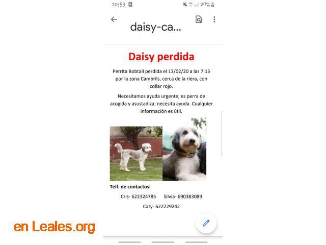 Daisy perdida