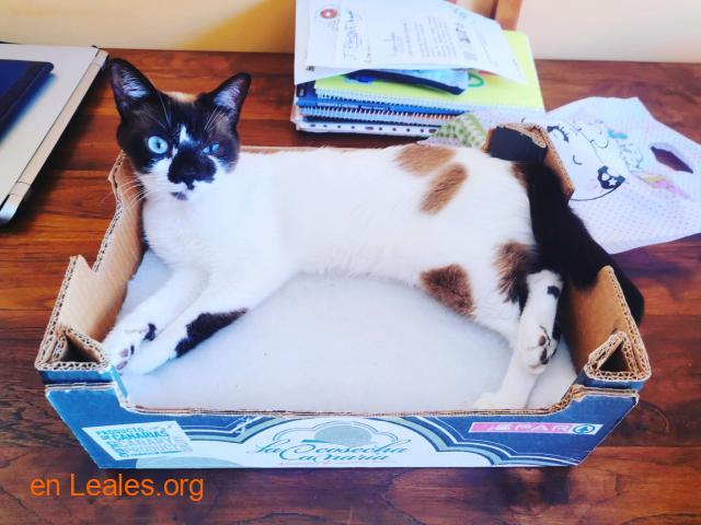 Urgente perdido gato Siamés