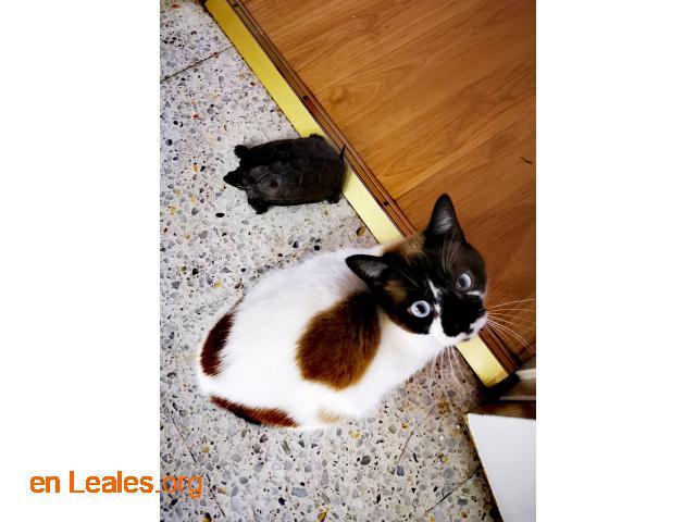Urgente perdido gato Siamés - 2