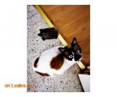 Urgente perdido gato Siamés - Imagen 2