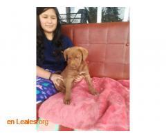 Cachorros en adopción responsable - Imagen 2