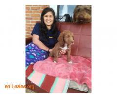 Cachorros en adopción responsable - Imagen 4