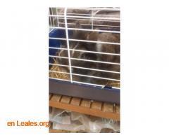 Conejita en adopción - Imagen 2