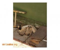 Gatitos siameses en adopción - Imagen 1