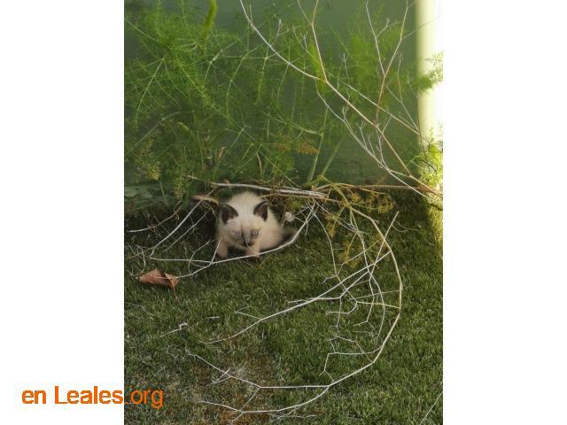 Gatitos siameses en adopción - 2