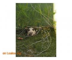Gatitos siameses en adopción - Imagen 2
