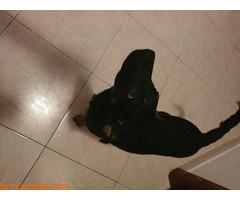 Cachorrito en adopción - Imagen 2