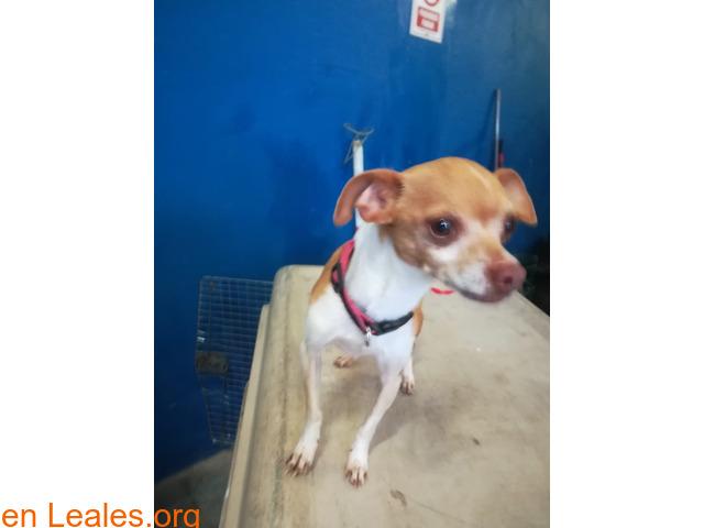 Chihuahua 2-3 años TAMARACEITE