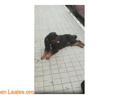 Calle Tucumán (El Fondillo) Rottweiler - Imagen 1