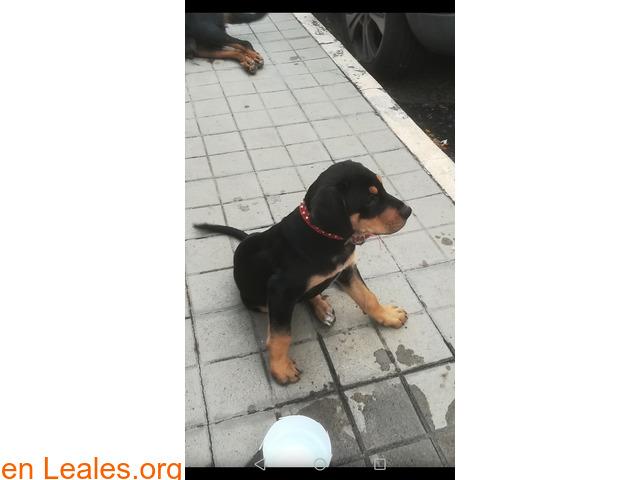 Calle Tucumán (El Fondillo) Rottweiler - 2