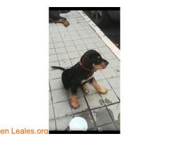 Calle Tucumán (El Fondillo) Rottweiler - Imagen 2